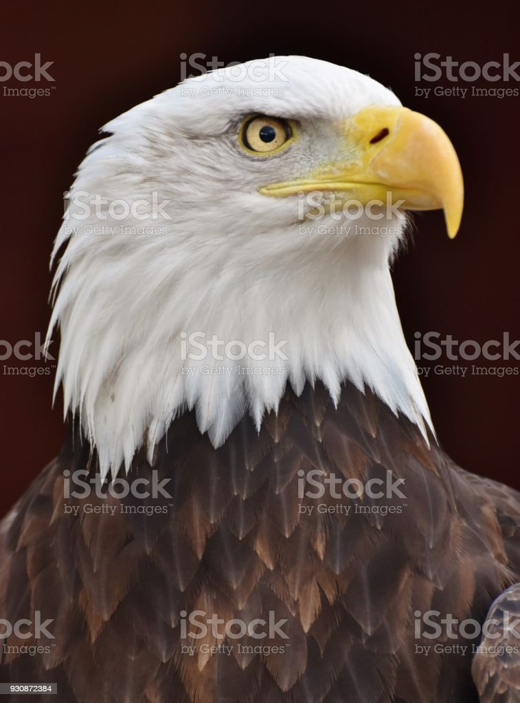 A Bald Eagle (Haliaeetus leucocephalus) stock photo
