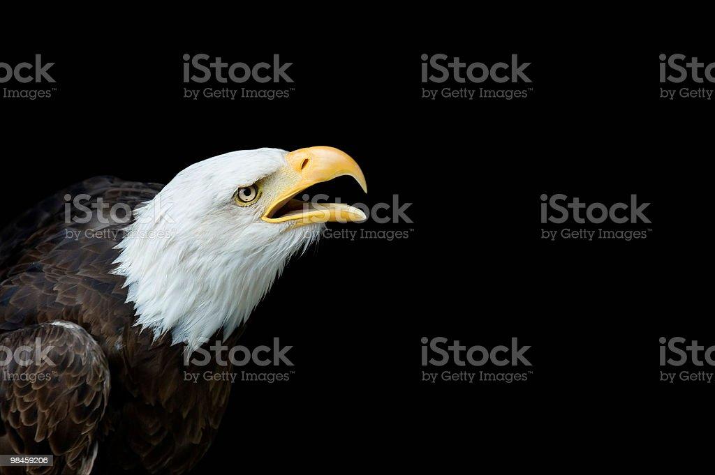 Aquila di mare testabianca foto stock royalty-free
