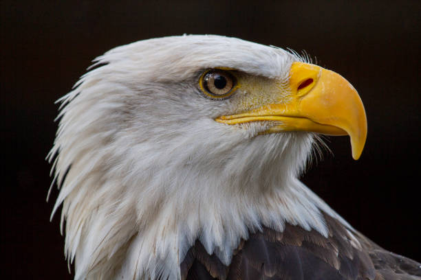 Bald eagle portrait stock photo
