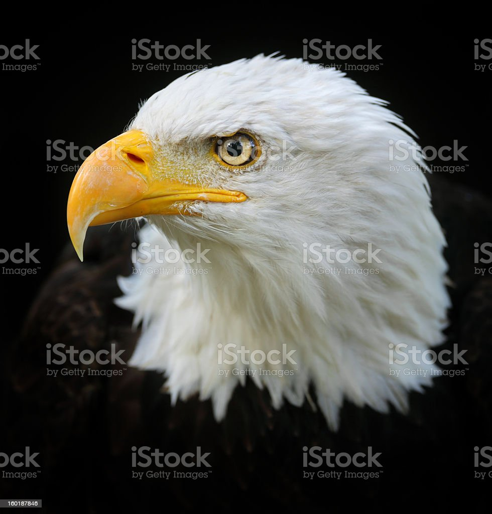 Bald Eagle Portrait royalty-free stock photo