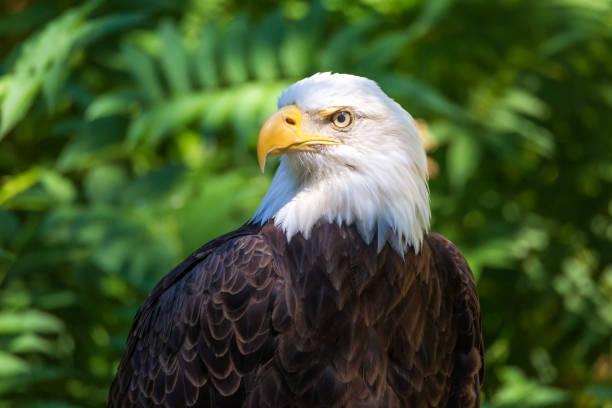 Bald Eagle Portrait mit grünen Lefen im Hintergrund – Foto