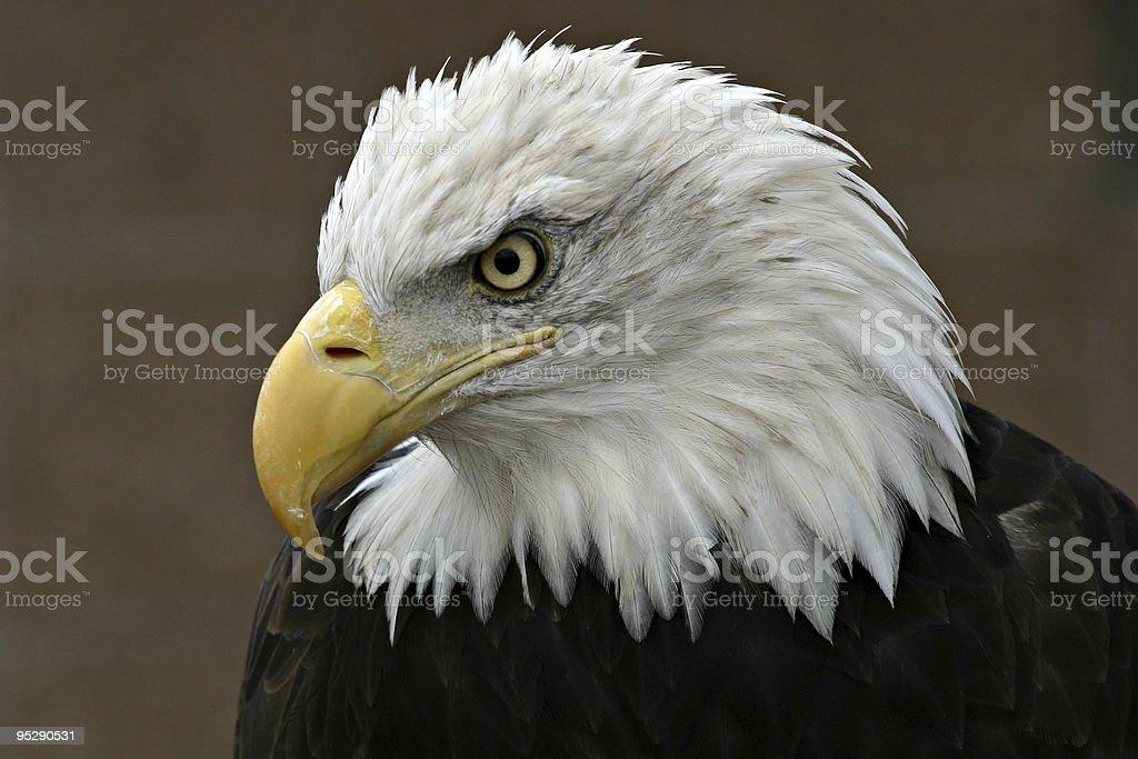 Bald Eagle (Haliaeetus leucocephalus) Profile Close-up - Looking Down stock photo