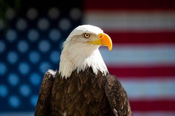 Bald Eagle Profile in front of USA Flag stock photo