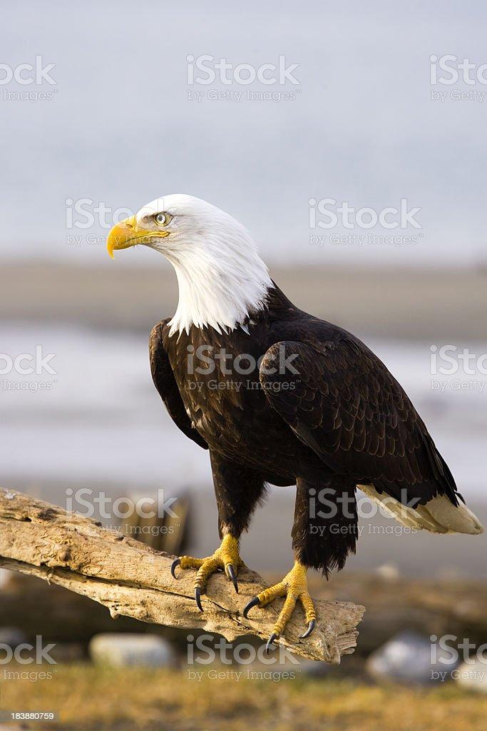 Bald eagle resting on a stump, Alaska royalty-free stock photo