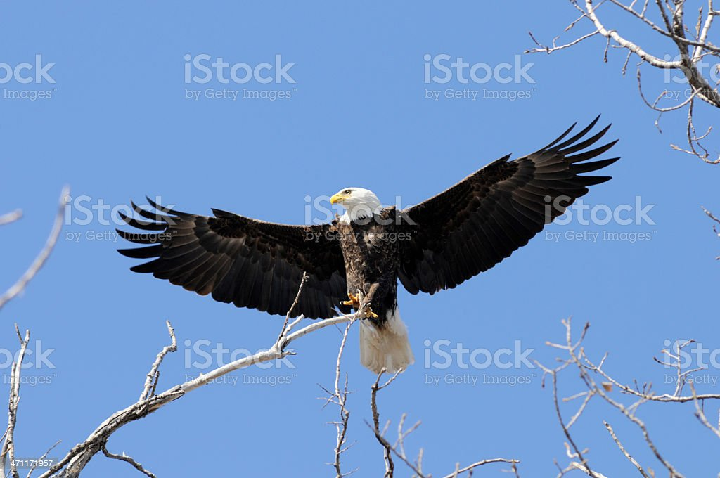 Bald Eagle, Ruler of the Sky royalty-free stock photo