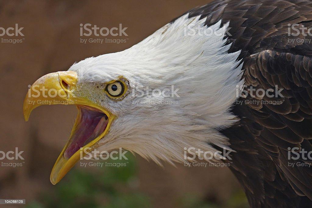Bald Eagle screeching stock photo