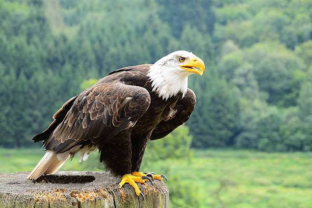 Bald eagle sits on wooden post and stares into distance stock photo