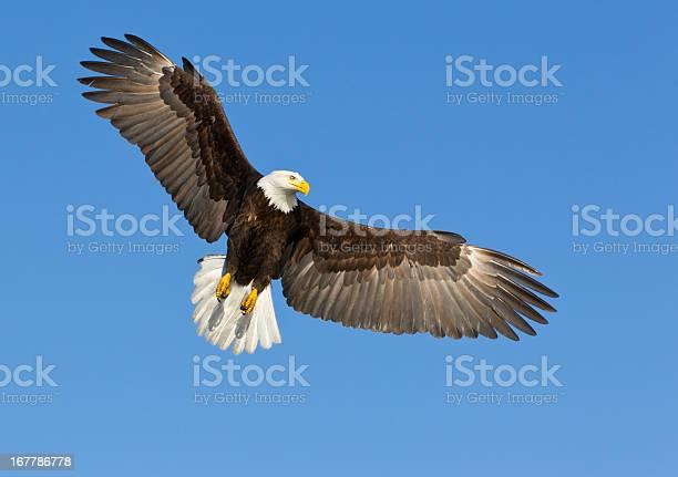 Bald eagle soaring in a blue sky picture id167786778?b=1&k=6&m=167786778&s=612x612&h=r1g7b1vj5zorfed6vxt7zezisg3bqvgowwfhd4apzlu=