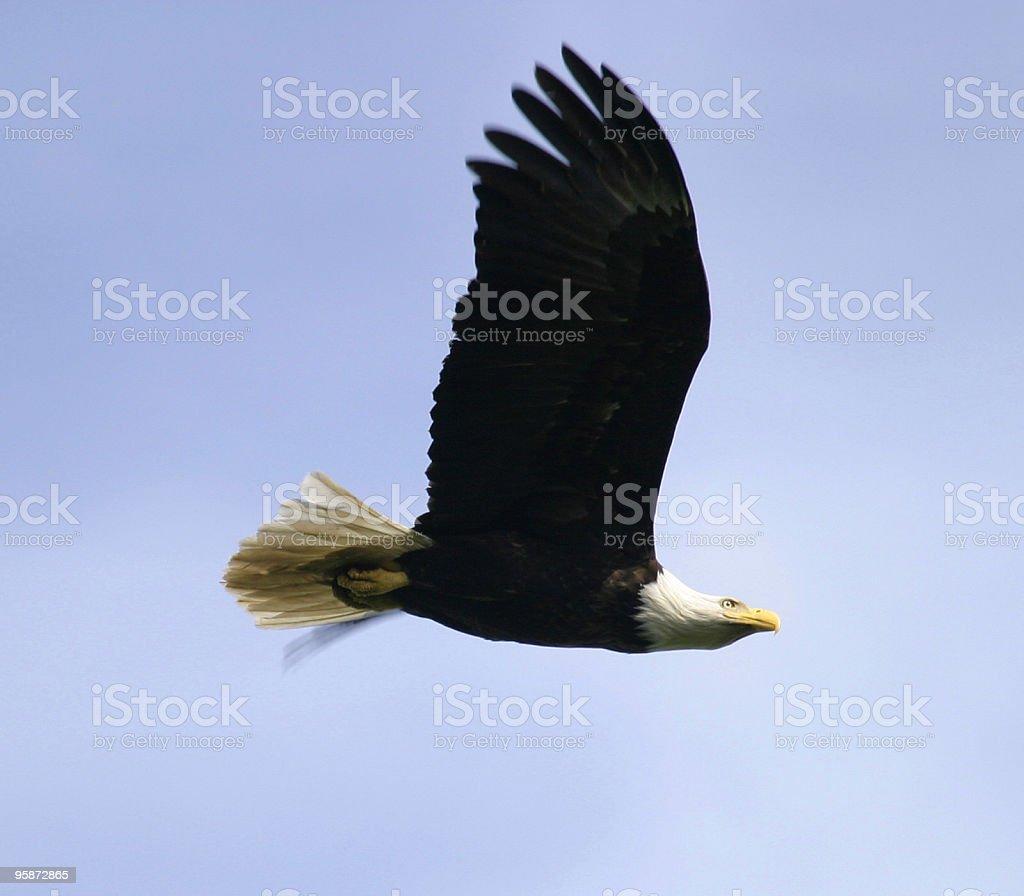 Bald Eagle Soaring In Flight royalty-free stock photo