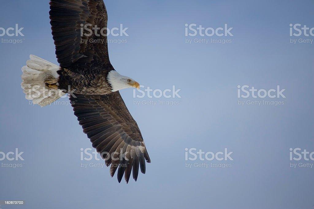 Bald Eagle Soaring stock photo