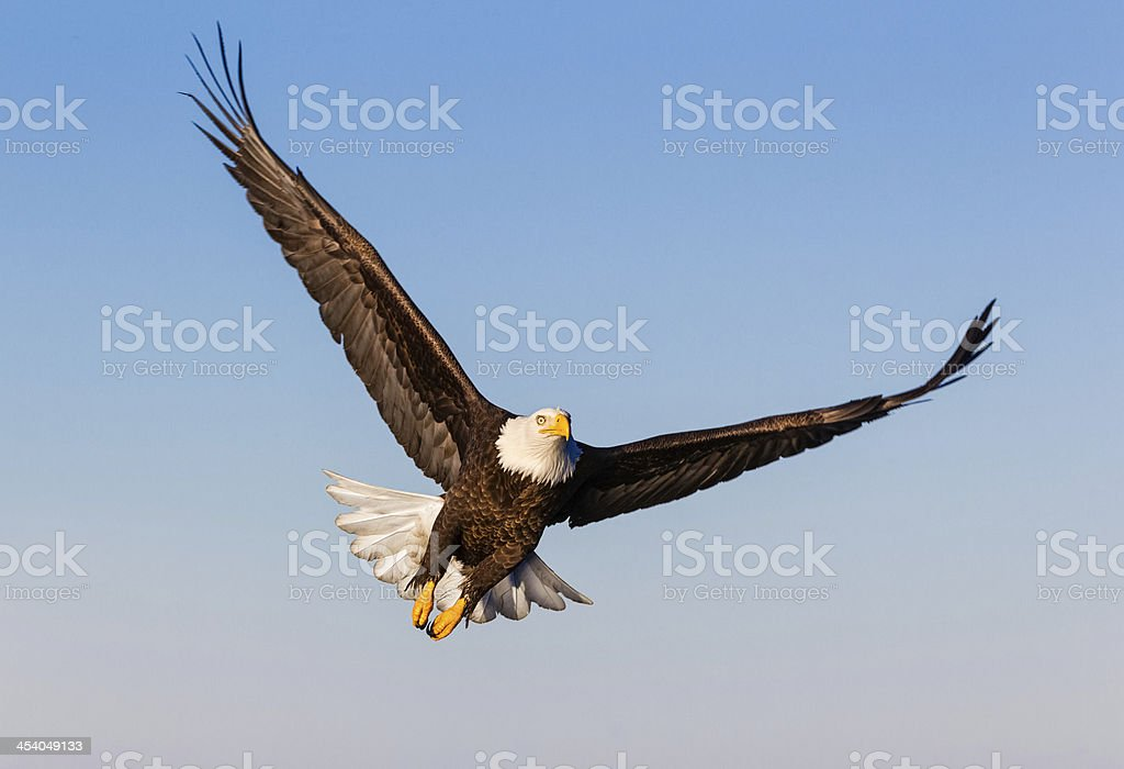 Bald Eagle Soaring royalty-free stock photo