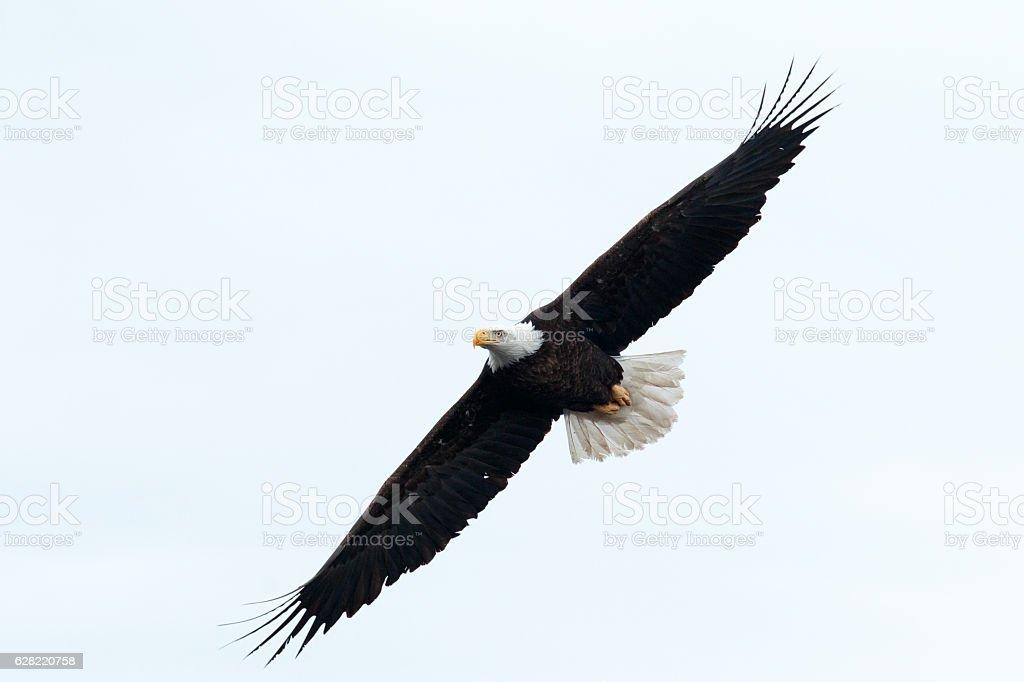 Bald eagle soaring - foto de stock