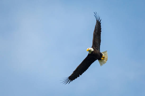 bald eagle soaring - eagle stock photos and pictures