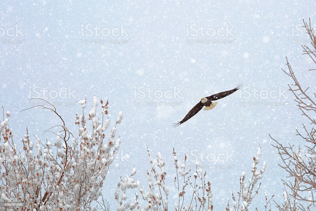 Bald Eagle Soaring Through Snow And Winter Storm stock photo