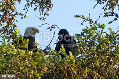 Bald eagle standing in the nest with her 2-months old eaglet, seen in the wild in  North California