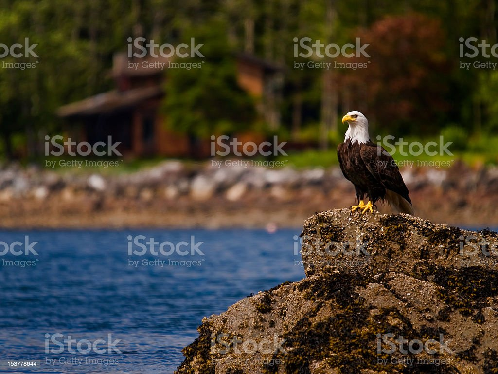 Bald Eagle standing watch stock photo
