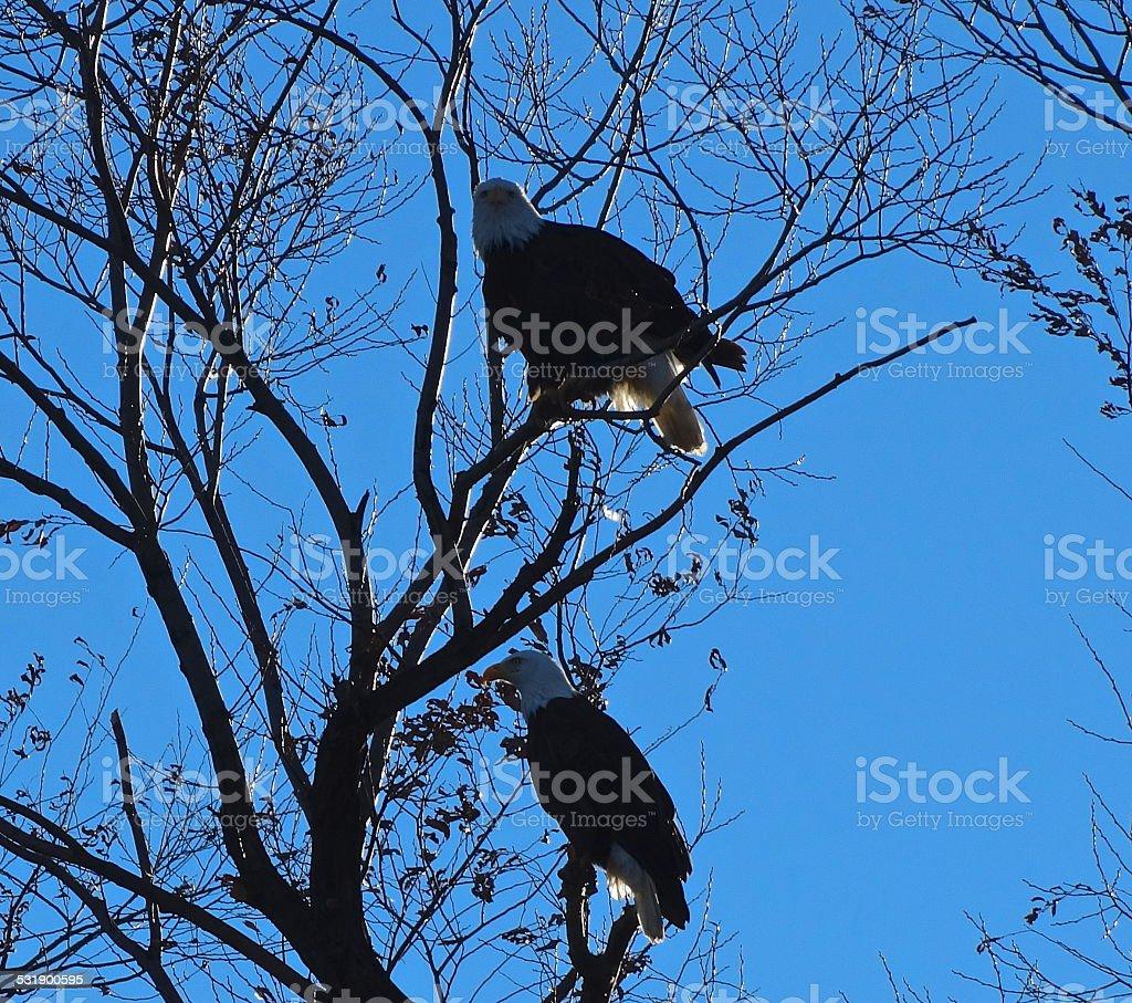 Bald Eagle Sun Shadows stock photo