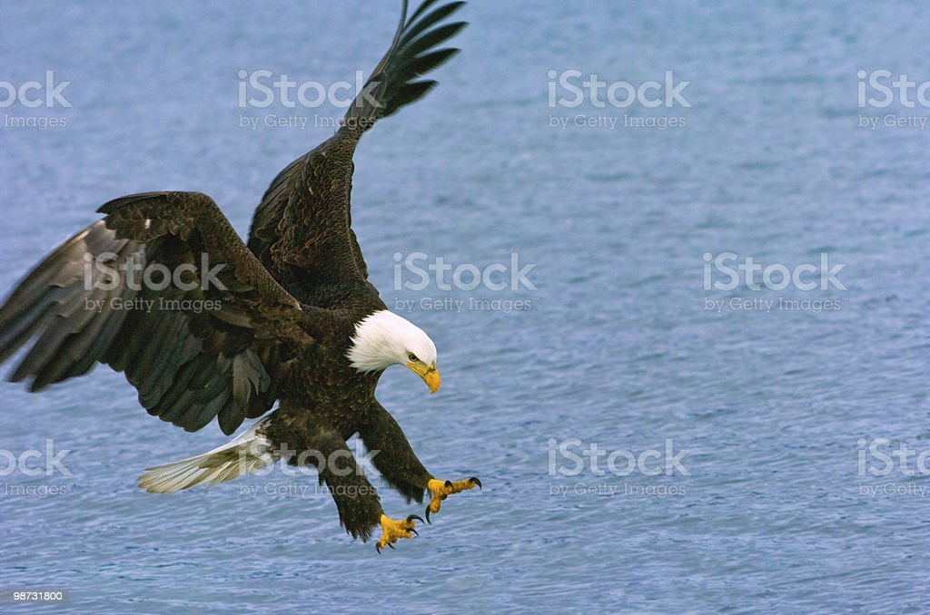 bald eagle swoops to catche fish in alaskan waters royalty free stockfoto