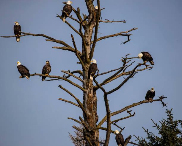 Bald Eagle tree stock photo