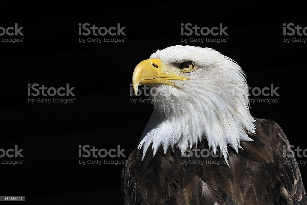 Bald Eagle Watching stock photo