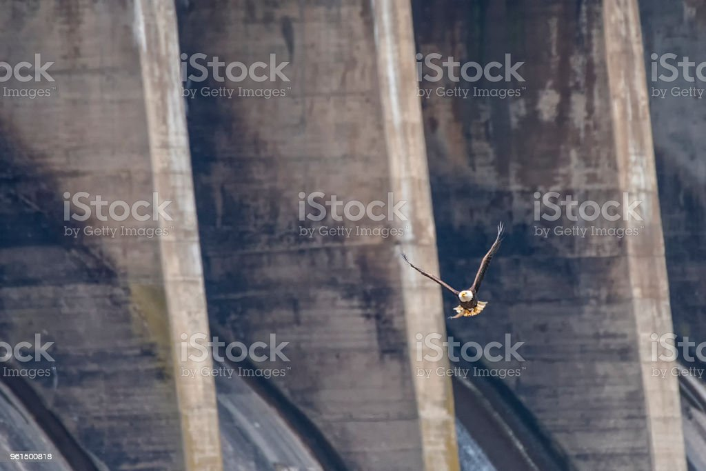 A Bald Eagle with a fish against the Conowingo Dam spillways stock photo
