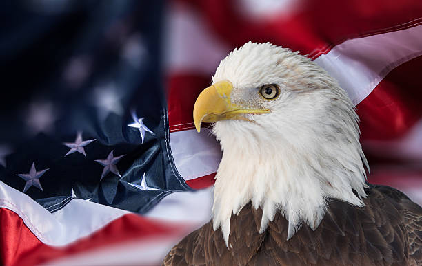Bald eagle with  american flag out of focus. stock photo