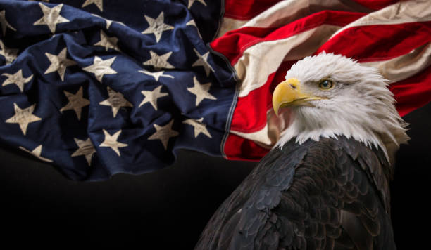 Bald Eagle with American flag North American Bald Eagle with American flag. Patriotic concept. day 4 stock pictures, royalty-free photos & images