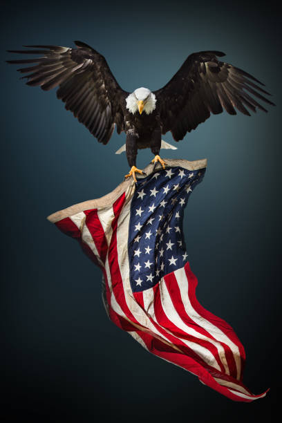 Bald Eagle with American flag stock photo
