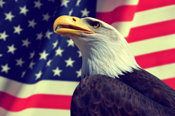 bald eagle with american flag. - eagle stock photos and pictures