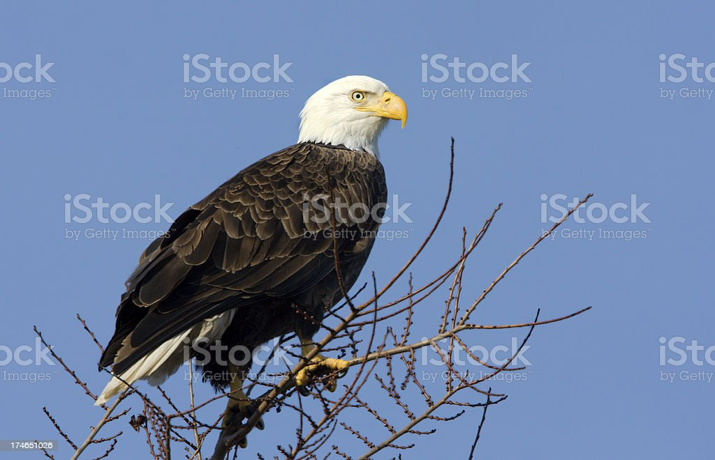 Bald Eagle with Blue Sky Background stock photo