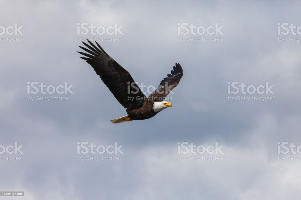 Bald Eagle with clouds stock photo