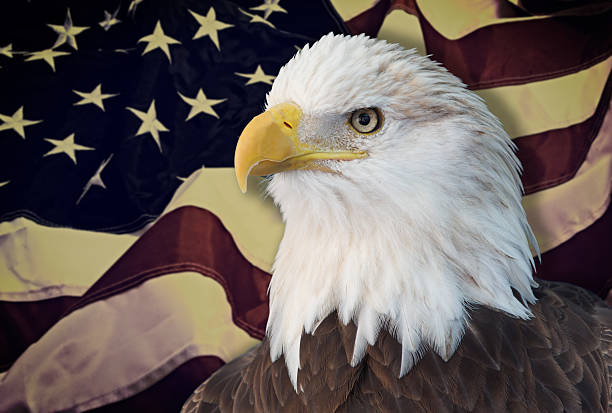 Bald eagle with grungy looking american flag out of focus. stock photo