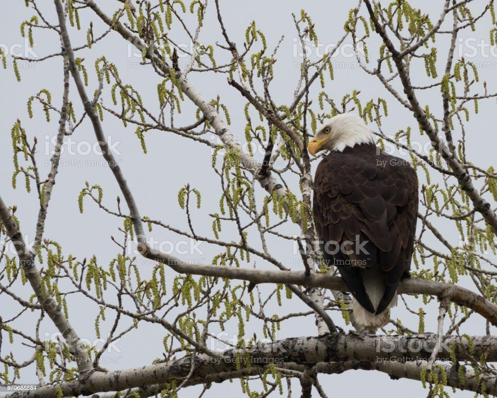 Aguila En La Espalda un Águila calva con su espalda hacia la cámara foto de stock
