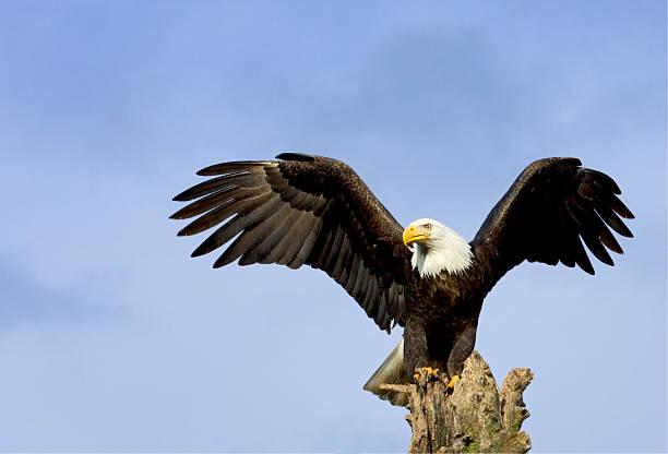 bald eagle with majestic wing span pose, alaska - neerstrijken stockfoto's en -beelden