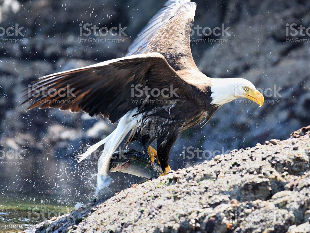 Bald Eagle with Salmon stock photo
