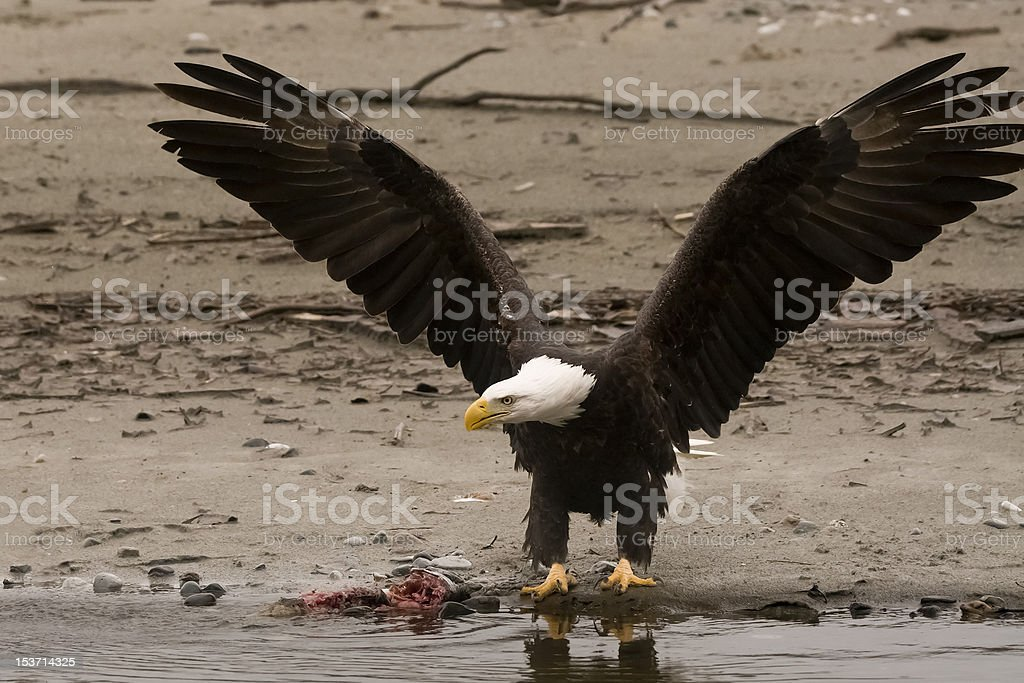 Bald Eagle with spread wings royalty-free stock photo