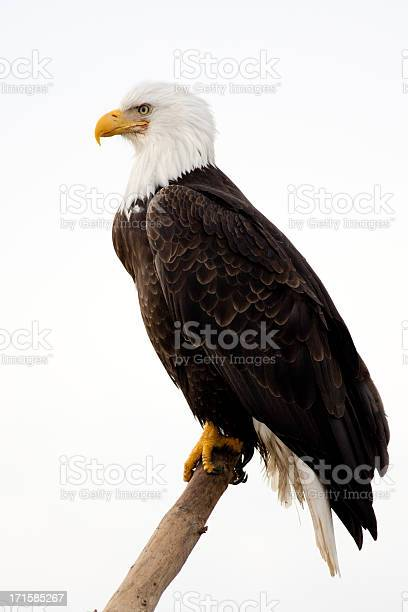 Bald eagle with white background picture id171585267?b=1&k=6&m=171585267&s=612x612&h=oqn7lksyxtxehlbugpcdkb5oi6pgbbtfggh8r9me29s=