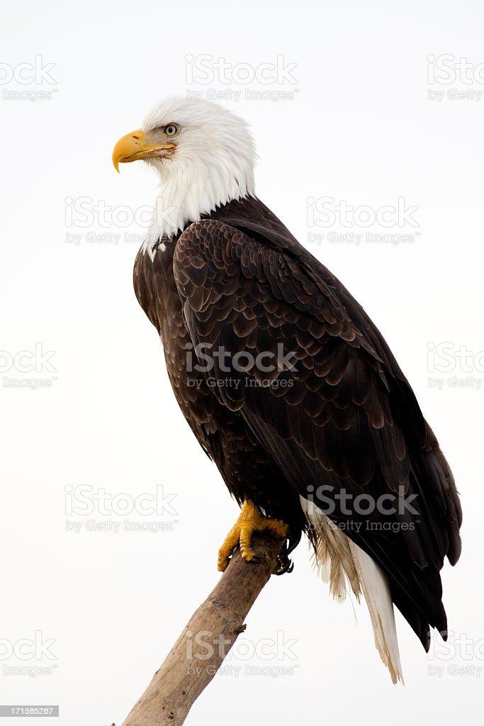 Bald Eagle avec un arrière-plan blanc - Photo