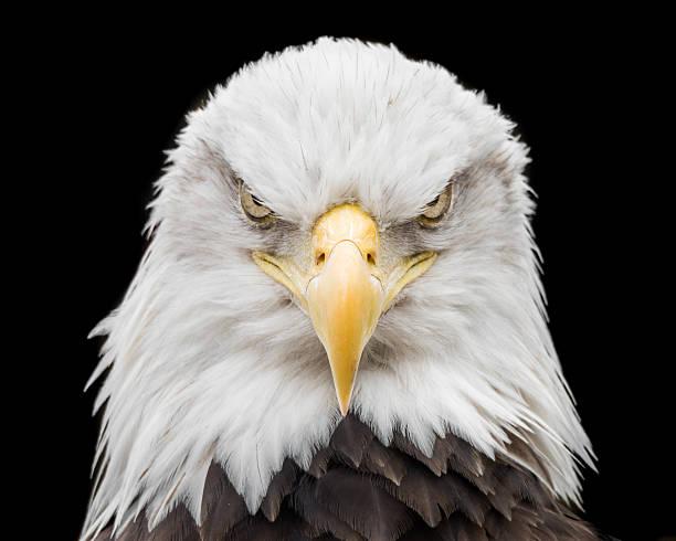 Bald Eagle X stock photo