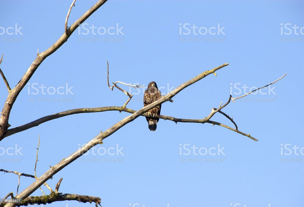 Bald Eagle Yearling royalty-free stock photo