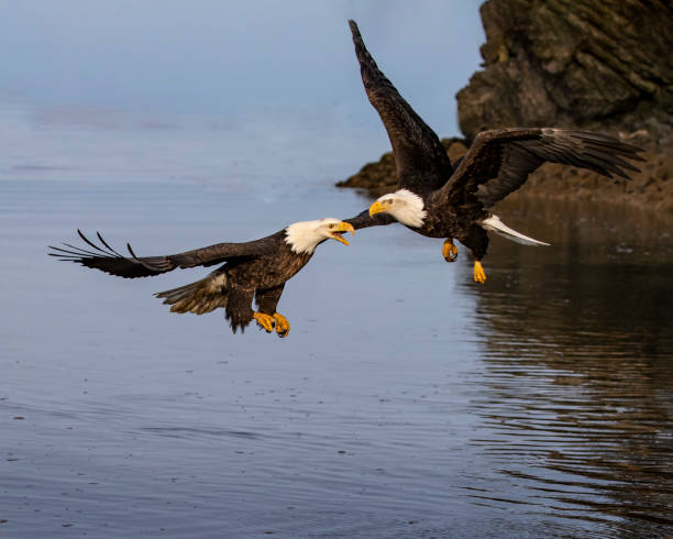 Bald Eagles confronting each other in mid-air stock photo