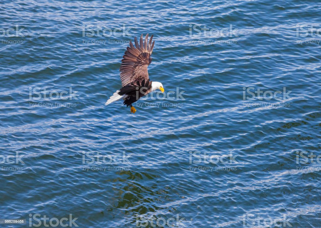 Bald Eagles fishing stock photo