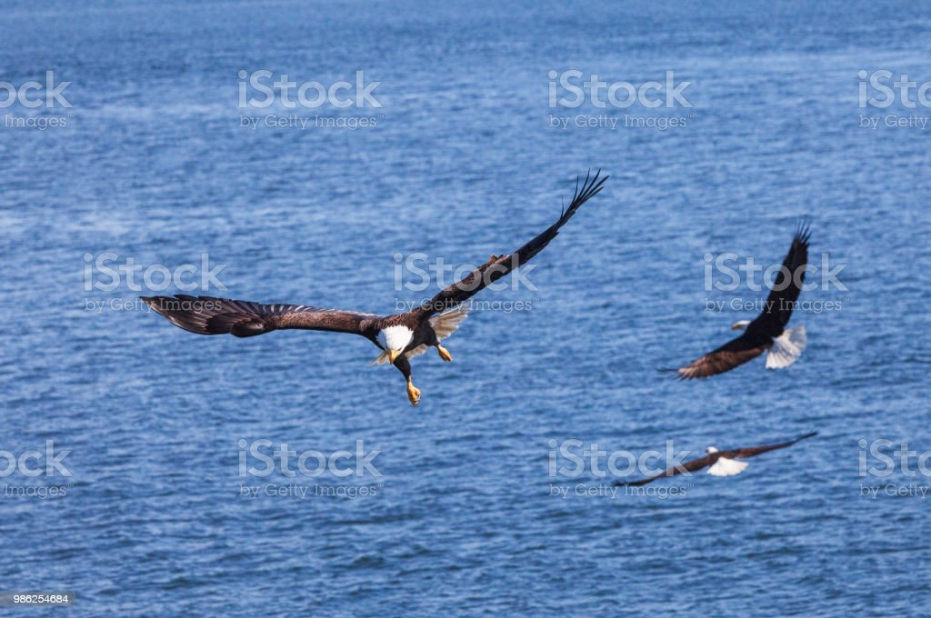 Bald Eagles hunting stock photo