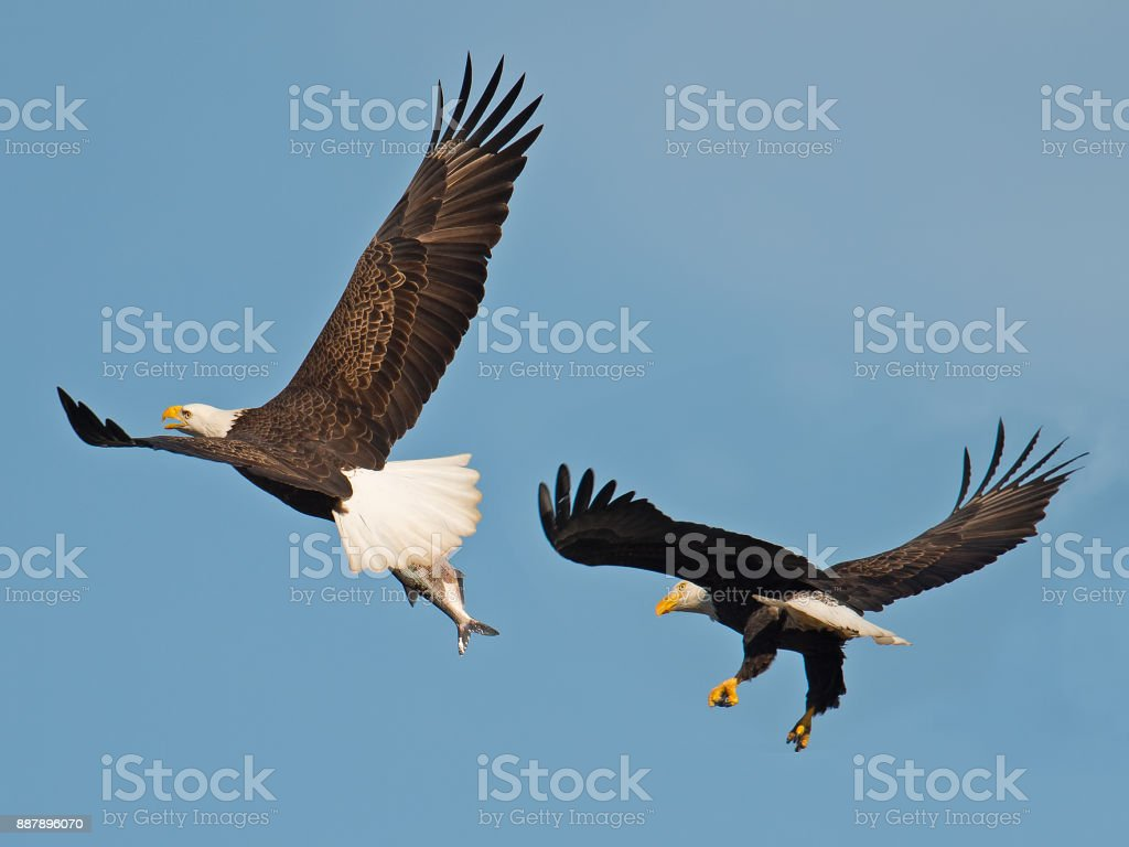 Bald Eagles in Flight Battling stock photo