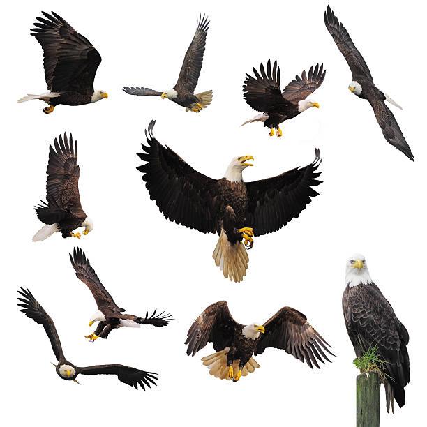 aigles chauves. - aigle photos et images de collection