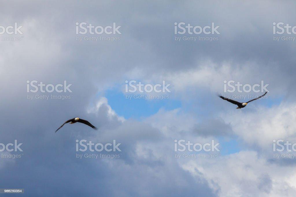 Bald Eagles stock photo
