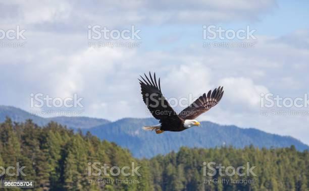 Bald eagles picture id986258704?b=1&k=6&m=986258704&s=612x612&h=evurhd32uqsngj1eeehyhsns3dyw30ahwwed0vrbqo4=