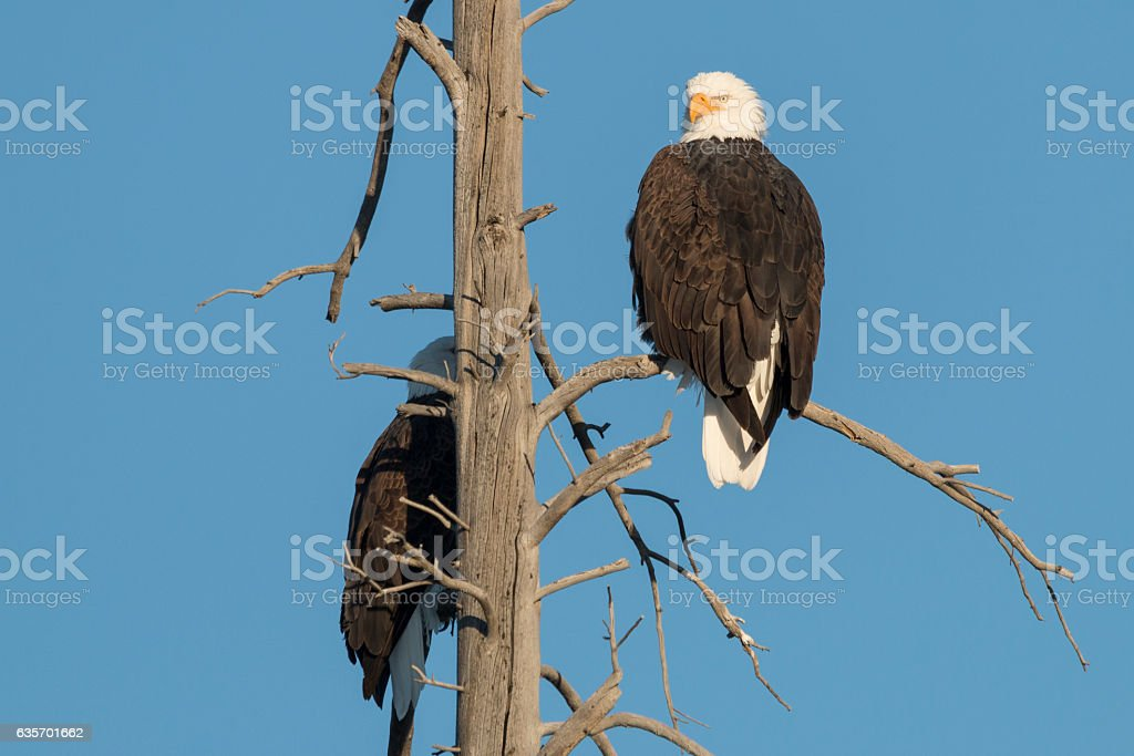 Bald Eagles roosting on a dead tree, Yellowstone National Park. royalty-free stock photo