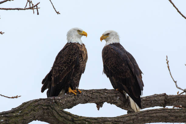 Bald eagles roosting stock photo