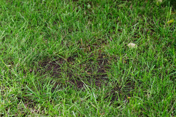 bald spot in a green lawn stock photo